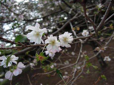 新宿御苑 2011 4 十月桜_9