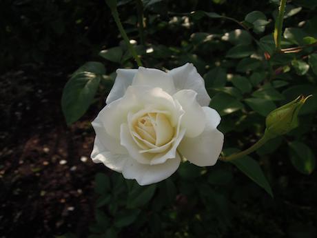 新宿御苑 2011 バラ_19