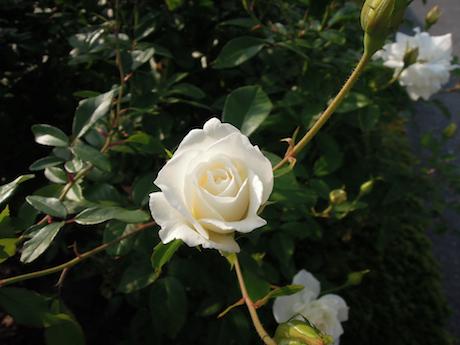 新宿御苑 2011 バラ_20
