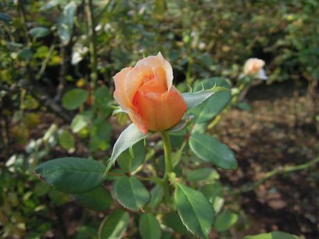 新宿御苑 2011 バラ_25