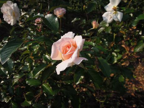 新宿御苑 2011 バラ_32