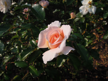 新宿御苑 2011 バラ_33