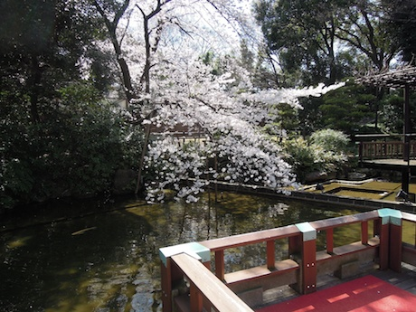 桜 2012 1 東郷神社・東郷記念館 原宿・明治神宮前_4
