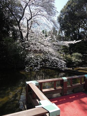 桜 2012 1 東郷神社・東郷記念館 原宿・明治神宮前_5