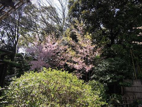 桜 2012 1 東郷神社・東郷記念館 原宿・明治神宮前_6