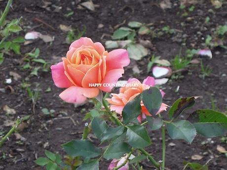 新宿御苑 2012 1 Disneyland Rose ディズニーランドローズ