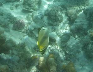 マニャガハ島で出会ったお魚